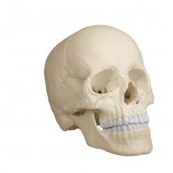 """Schädelmodell, 22-teilig, """"Anatomische Ausführung"""""""