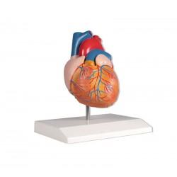 Herzmodell - natürliche Größe (2 Teile)