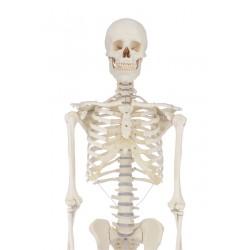"Skelett ""Willi"""