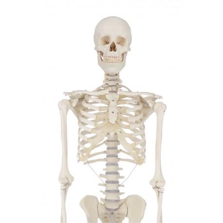 Skelett \