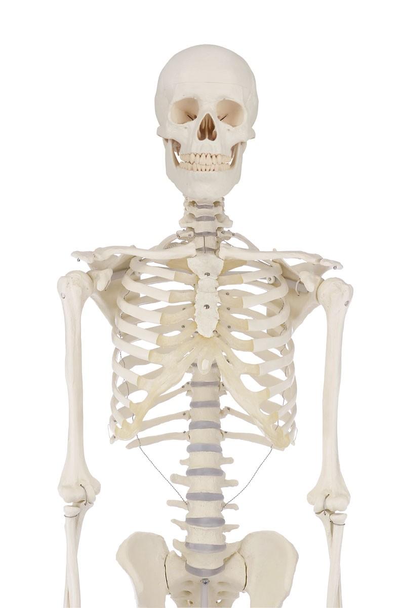 Skelettmodelle - CEDIP Verlagsgesellschaft mbH