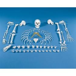 Skelett - Knochensammlung (unmontiert)