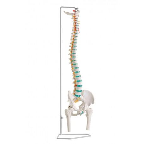 Flexible Wirbelsäule mit Oberschenkelstümpfen - CEDIP ...
