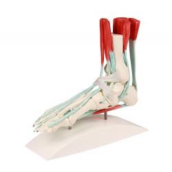 Fußskelett mit Bändern