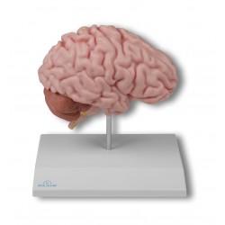 Anatomische Gehirnhälfte, lebensgroß