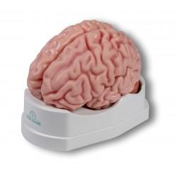 Anatomisches Gehirnmodell, 5-teilig